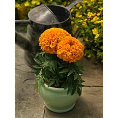 Бархатцы (Тагетес) Proud Mari Orange, Sakata
