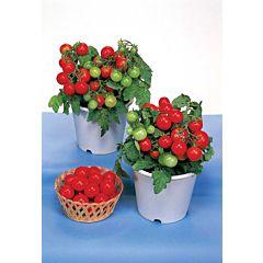 Томат декоративный Miniature GSPP, Red Robin GSPP F1, Sakata
