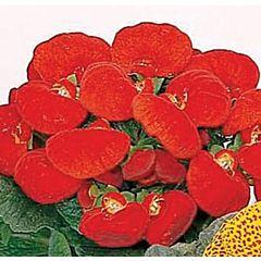 Кальцеолярия Dainty Red F1, Sakata