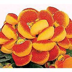 Кальцеолярия Dainty Red & Yellow F1, Sakata