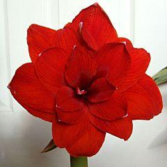 Амариллис Double Dragon,  Florium