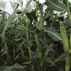 ДОБРЫНЯ F1 / DOBRYNJA F1 — Кукуруза, Lark Seeds