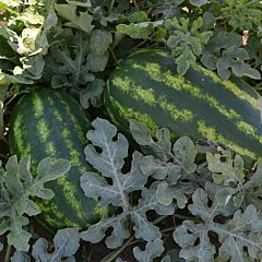 ЮММИ F1 / JUMMI F1  — Арбуз, Lark Seeds