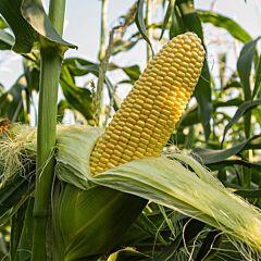 ДЖЕТ F1 / DZHET F1 - Кукуруза, Ergon seeds