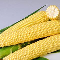ДЖИА F1 / DZHIA F1 - Кукуруза (SH2), Hazera