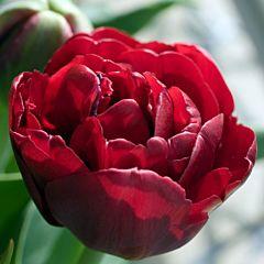 Тюльпан Emblazon,  Florium