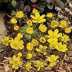 Эрантис (весенник) Сilicica,  Florium