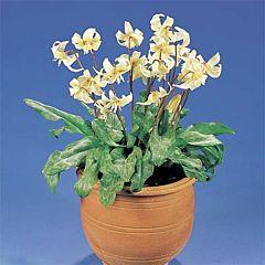 Эритрониум White Beauty,  Florium