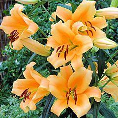 Лилия Eudoxia, 2 луковицы, Florium
