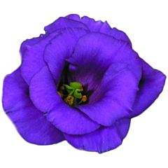 Роза (Эустома) Matador Blue F1, Sakata