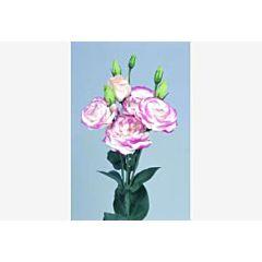 Роза (Эустома) Rosita® 2 Hot Lips F1, Sakata
