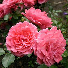Саженцы роз парковая Rosarium Uetersen (Розариум Уэтерзейн)