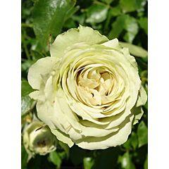 Саженцы роз флорибунда Lovely Green (Лавли Грин)