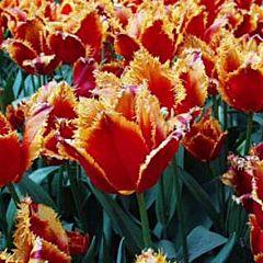 Тюльпан Fabio,  Florium