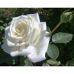 Роза чайно-гибридная Полар Стар (Професійне насіння)