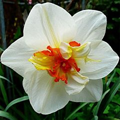 Нарцисс Flower Drift,  Florium