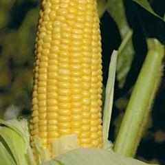 GH2042 F1 — кукуруза, Syngenta
