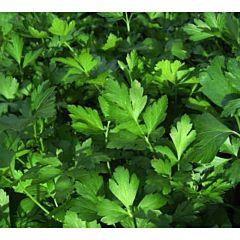 ГИГАНТЕ ДЕ ИТАЛИЯ / GIGANTE DE ITALIA — Петрушка листовая, Agri Saaten