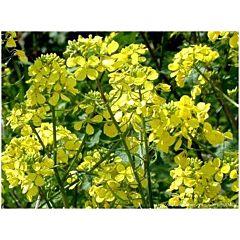 Горчица желтая, Професійне насіння