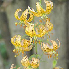 Лилия Guinea Gold,  Florium
