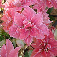 Амариллис Sweet Nymph,  Florium