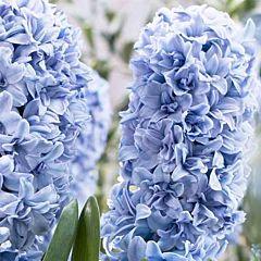 Гиацинт Махровый Blue Tango,  Florium