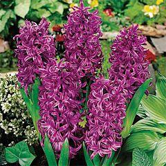 Гиацинт Purple Sensation,  Florium