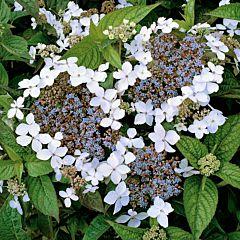 Гортензия Lanarth White, 1 корень, Florium