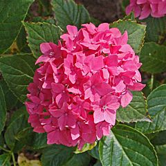 Гортензия Pia, 1 корень, Florium