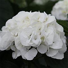 Гортензия Sneeuwbal, 1 корень, Florium