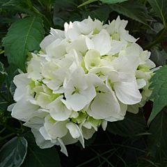Гортензия Soeur Thérèse, 1 корень, Florium