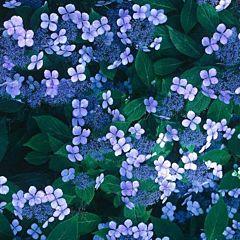 Гортензия Bluebird, 1 корень, Florium
