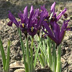 Ирис reticulata J.S. Dijt,  Florium
