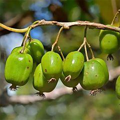 Саженцы актинидии (киви) Изумруд, женская (Професійне насіння)