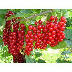 Саженцы смородины Йонкер Ван Тетс, красная среднеранняя (Професійне насіння)