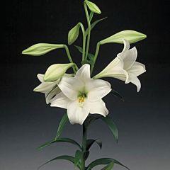 Лилия Jules Verne, 3 луковицы, Florium