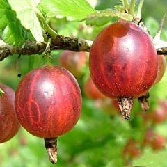 Саженцы крыжовника Красень, красный среднеспелый (Професійне насіння)
