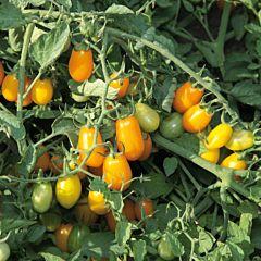 КС 3690 F1 / KS 3690 F1 - Томат Детерминантный, Kitano Seeds