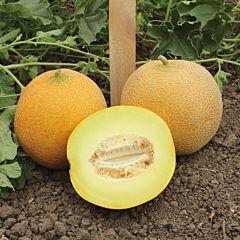 ВАНДА (КС 517) F1 / VANDA (КS 517) F1 - Дыня, Kitano Seeds