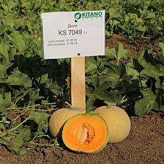 КС 7049 F1 / KS 7049 F1 — Дыня, Kitano Seeds