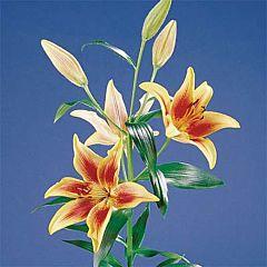 Лилия First Crown, 3 луковицы, Florium