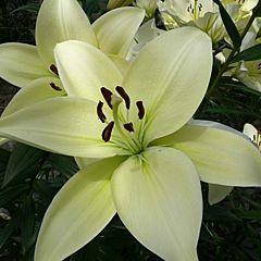 Лилия Kingdom, 2 луковицы, Florium