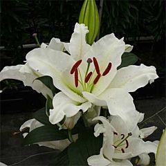 Лилия Proud Bride, 3 луковицы, Florium