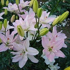 Лилия Spring Pink,  Florium