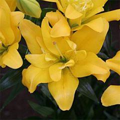 Лилия Sundew, 2 луковицы, Florium