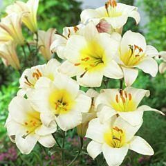 Лилия White Planet, 1 луковица, Florium