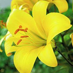 Лилия Yellow Planet, 1 луковица, Floriumука