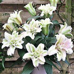 Лилия Roselily Annika, 1 луковица, Florium