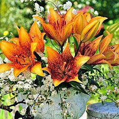 Лилия Longwood, 2 луковицы, Florium