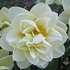 Нарцисс Manly,  Florium